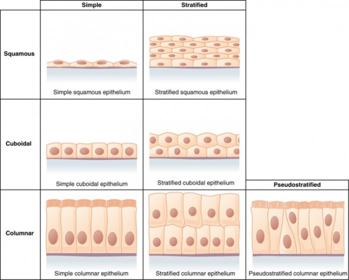 Epithelial Tissue: Characteristics, Types, and Functions
