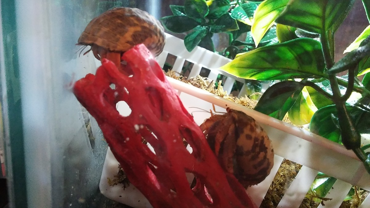 Hermit crabs love to climb! Here two of ours climb a piece of plastic cholla.