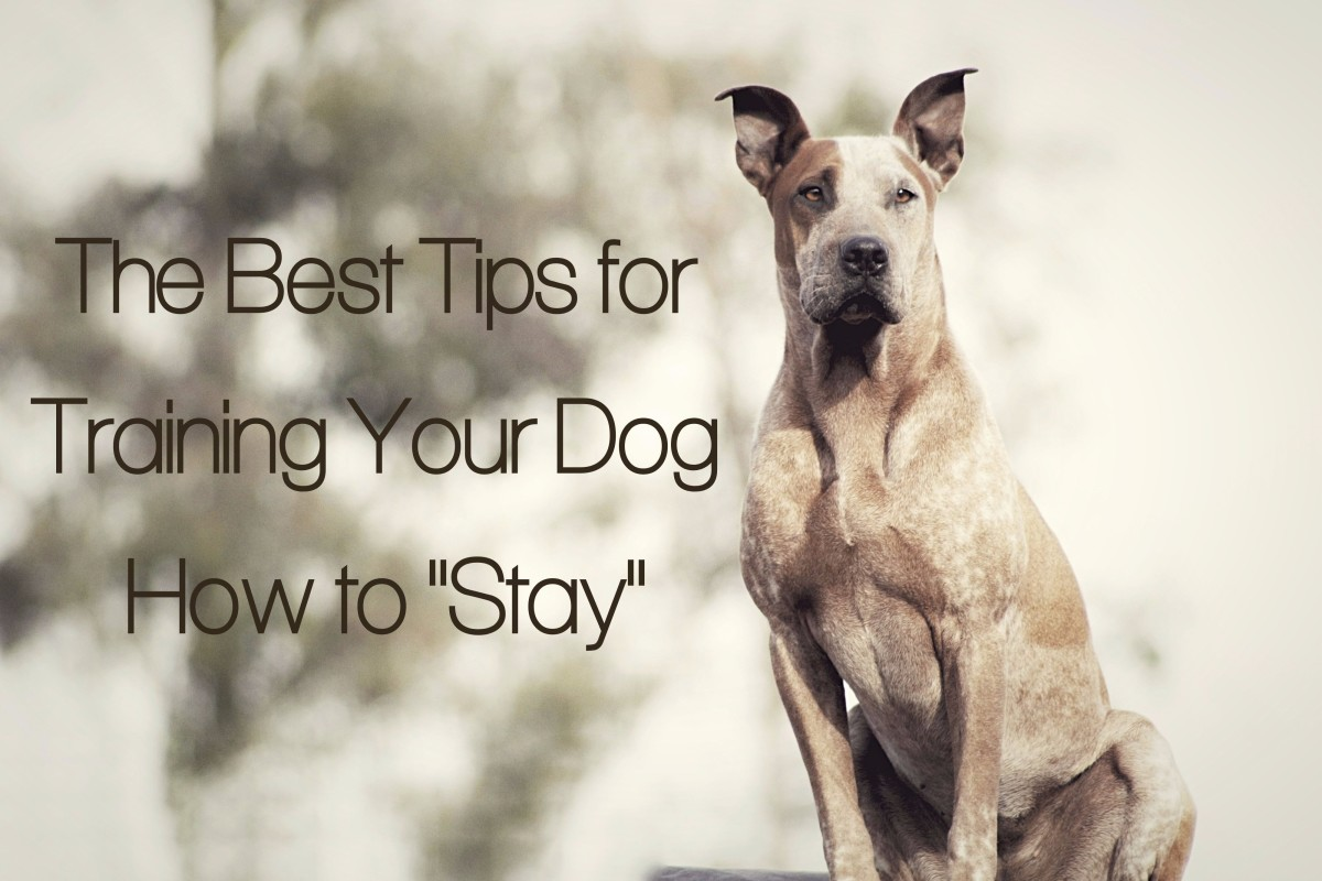 "Learning the ""stay"" command is an absolute must when it comes to training your canine."