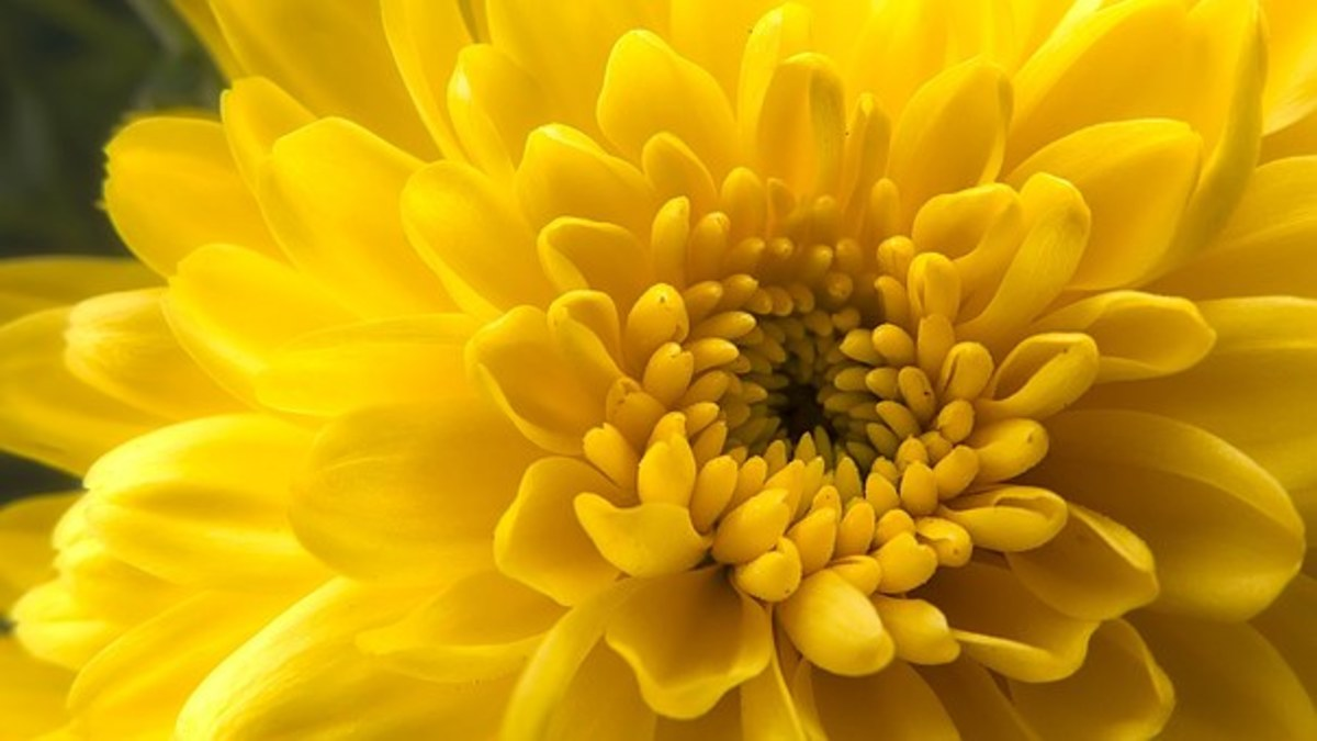 How Did The Chrysanthemum Become The Symbol Of The Japanese Emperor