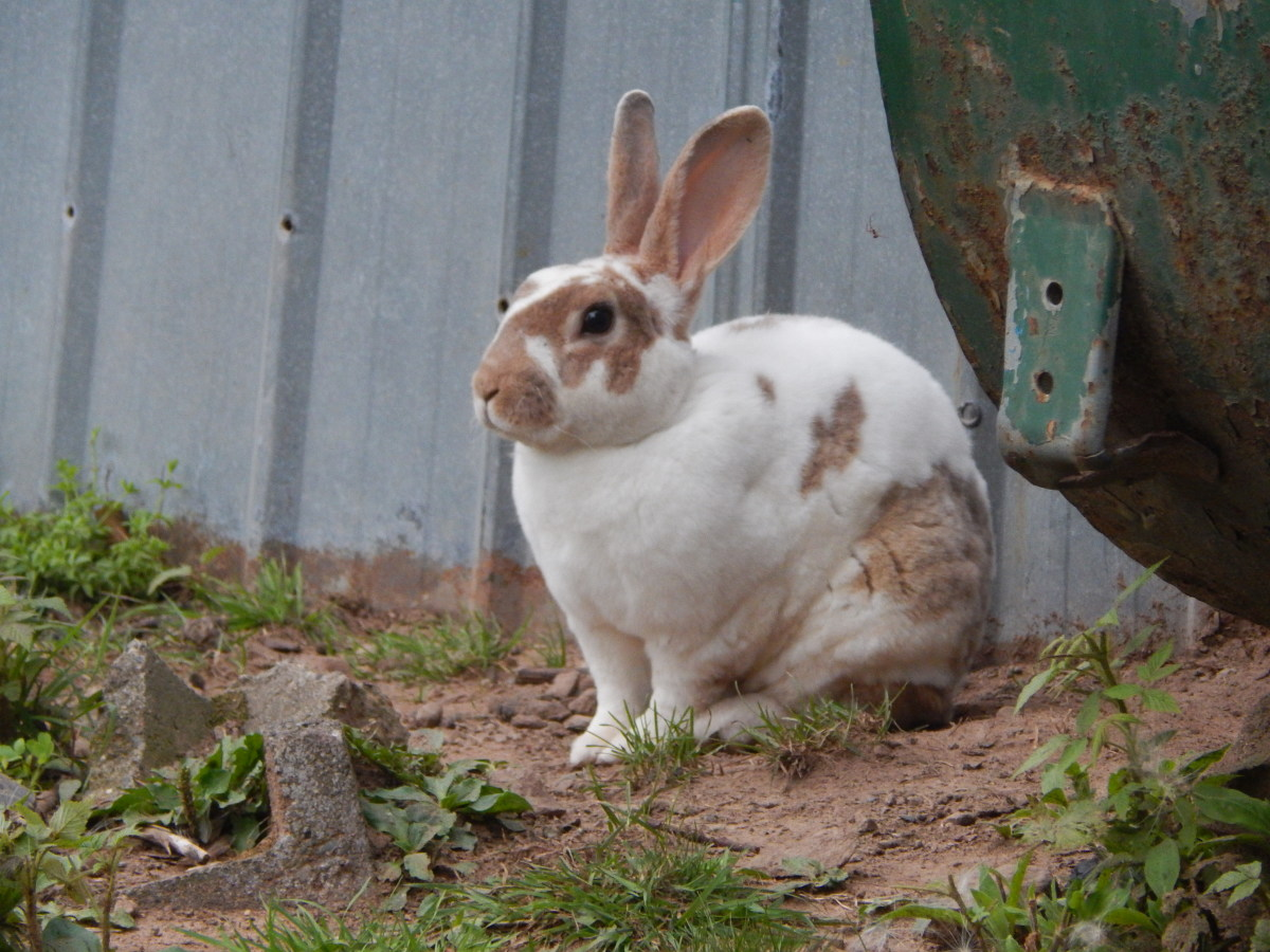 Free-range meat rabbit of the Rex breed, affectionately named Buckly.