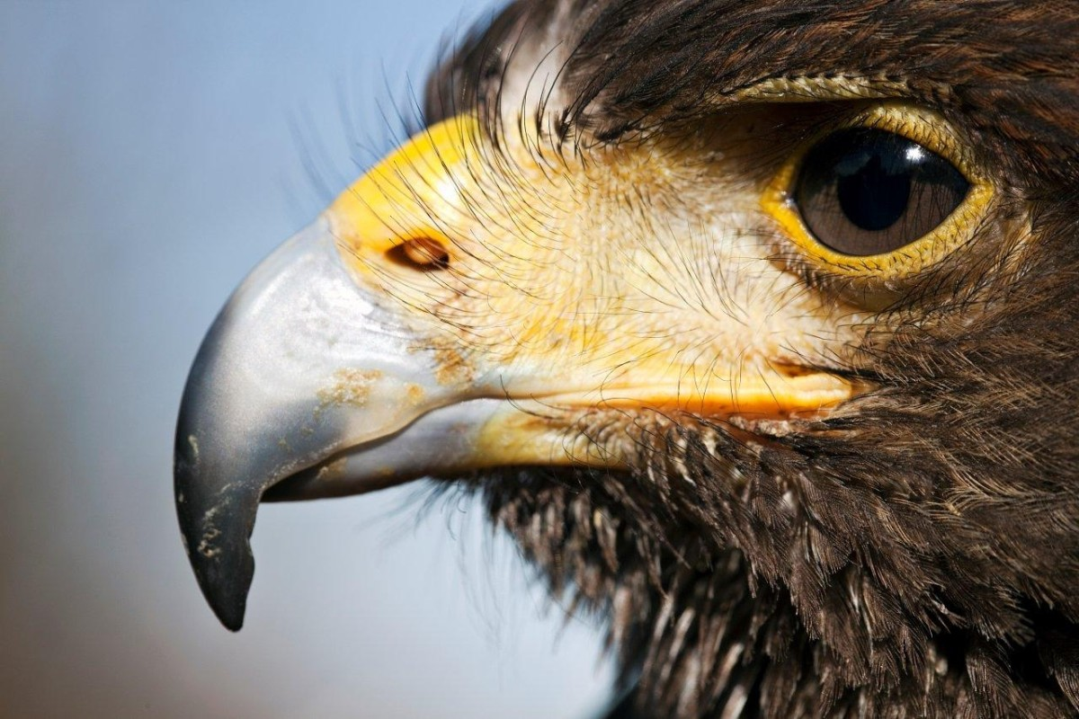 A Day Out With a Harris Hawk