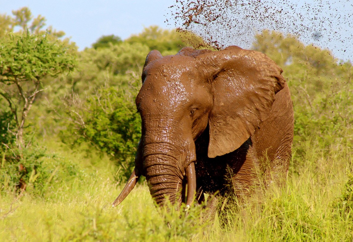 An elephant shakes off mud after a bath in the material.