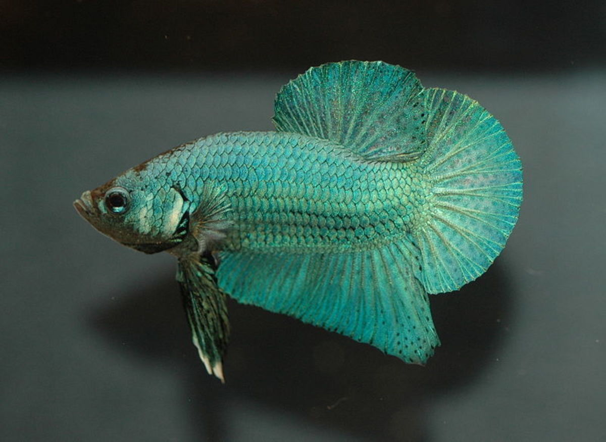 8 Fascinating Facts About Siamese Fighting Fish
