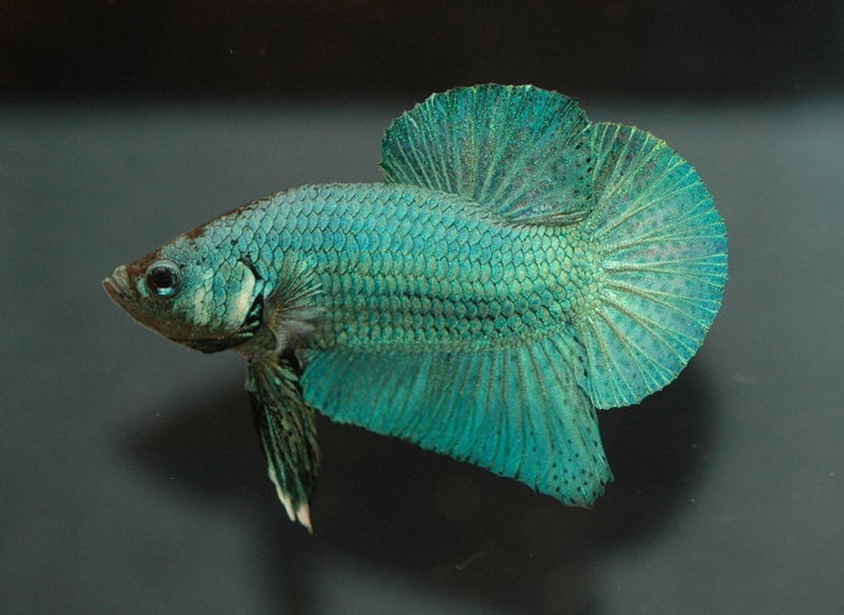 A male betta.
