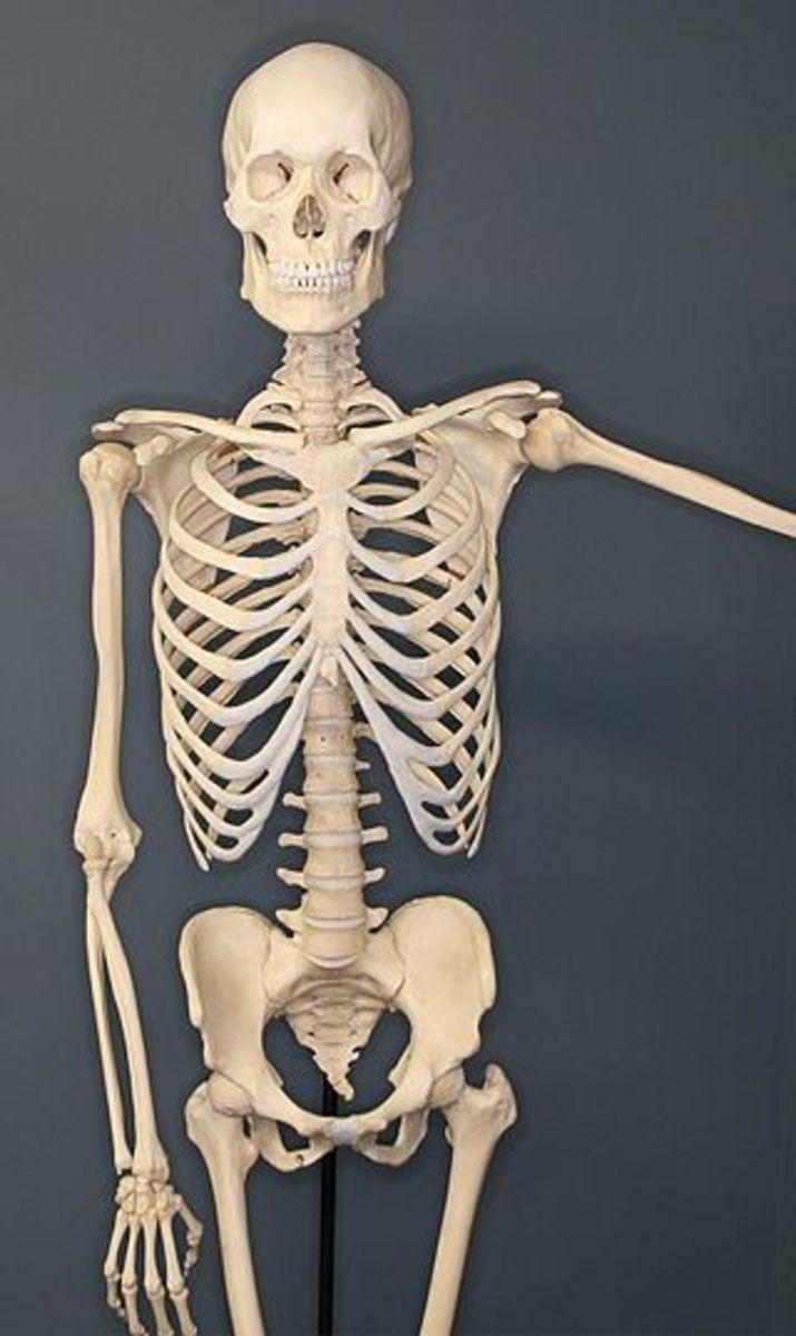 Human skeleton at Museum of Osteology, OK.