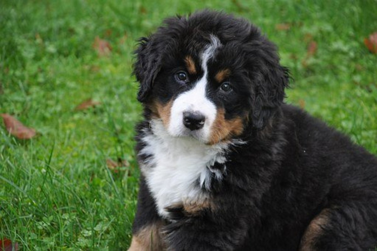 This Bernese Mountain Dog puppy is looking for a name.