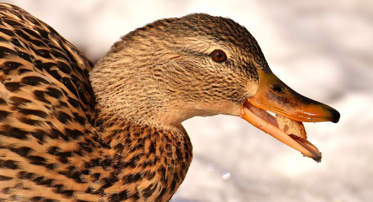 A Duck's Tale, not by Charles Dickens