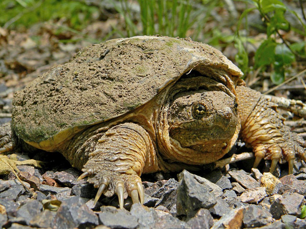 Snapping turtle at Taum Sauk Mountain State Park.