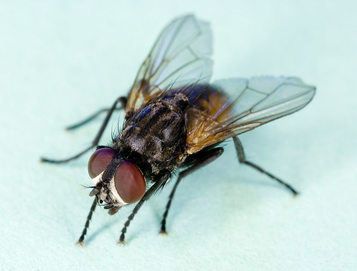 This, ladies and gentlemen, is a Common housefly.