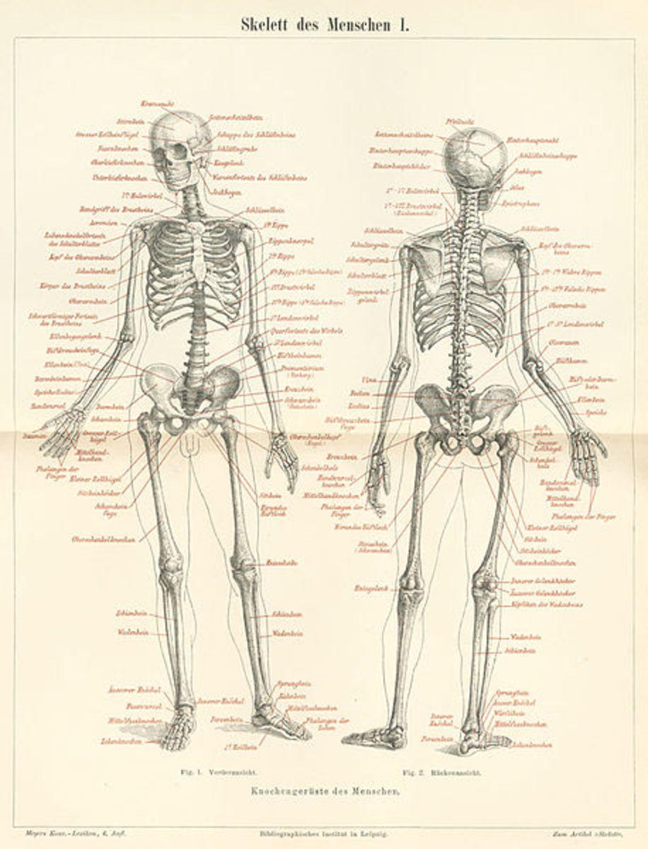 Anatomy Limerick