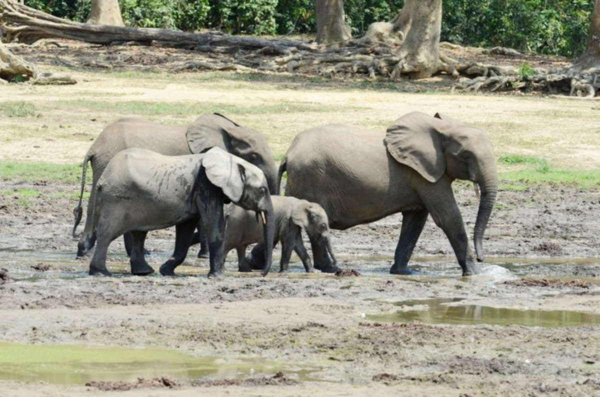 All About the African Forest Elephant