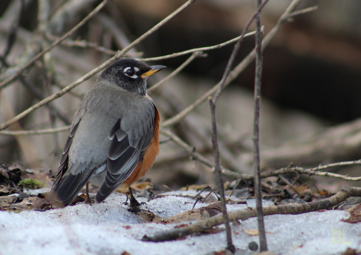 Robin On A Snowy Ground