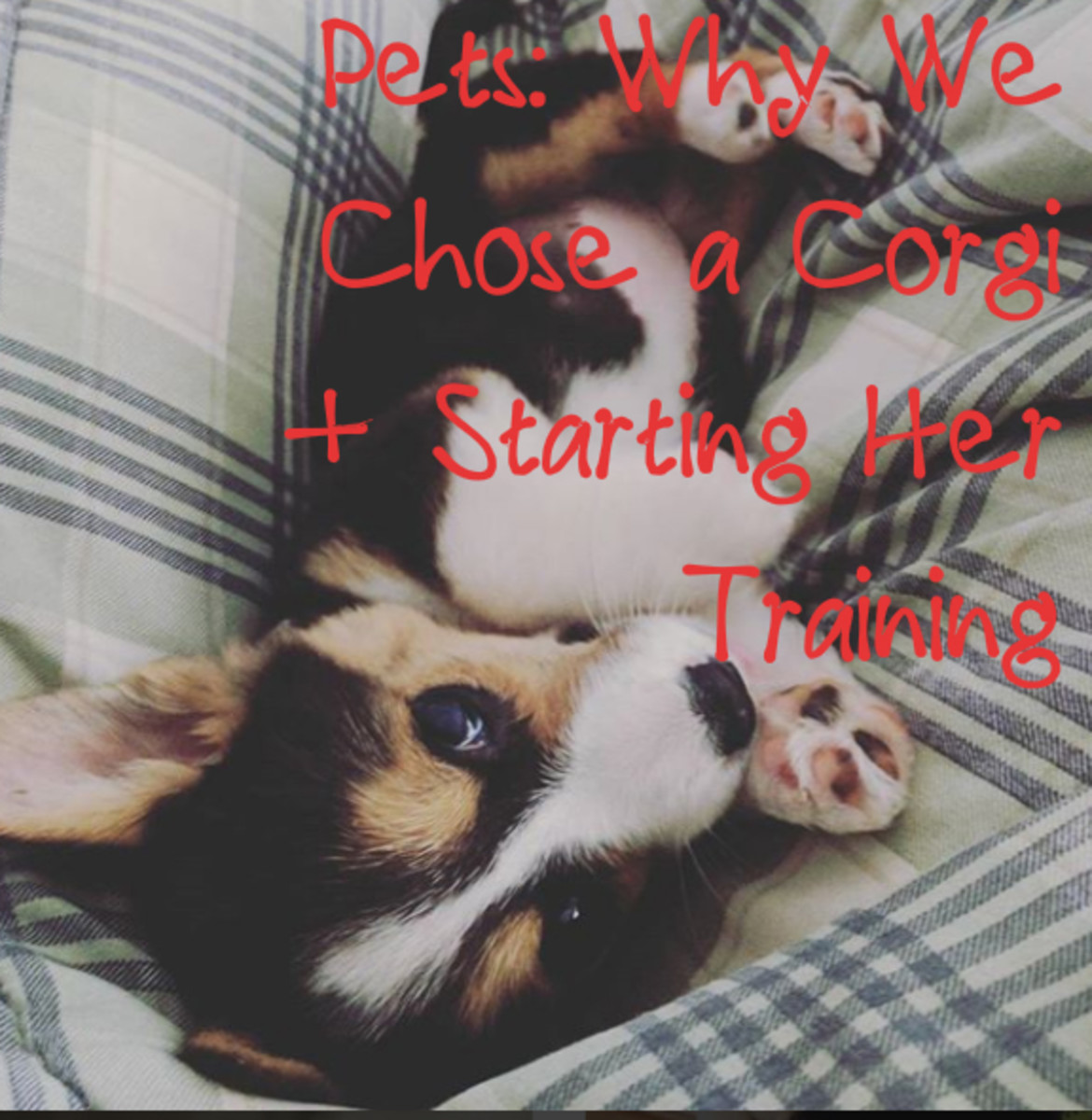 Why We Chose a Corgi and How We Trained Our Puppy