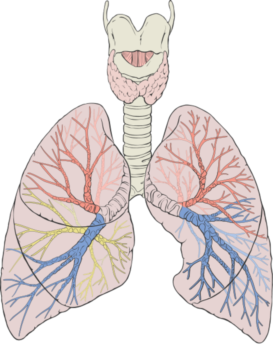 Lungs showing pulmonary tract