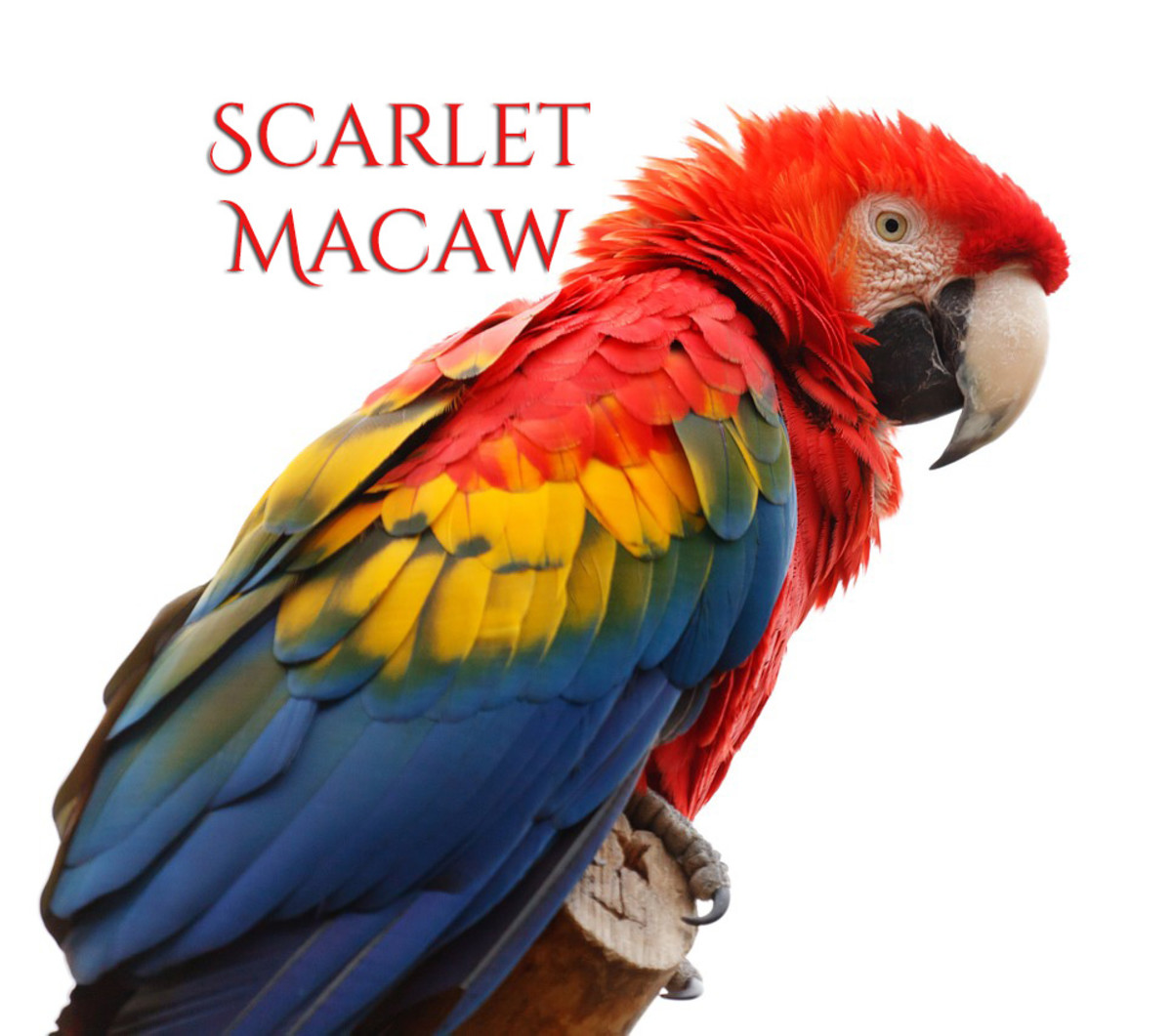 A Guide to Owning a Scarlet Macaw