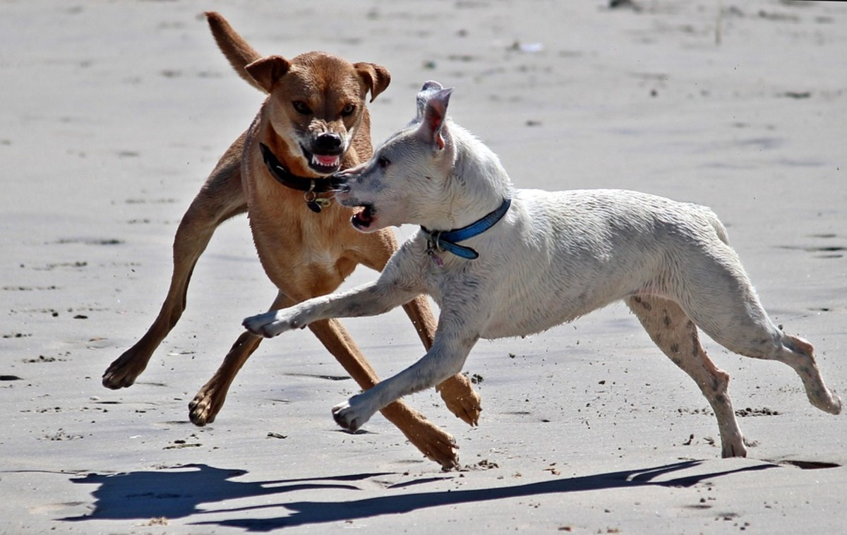 What to Do If Your Dog Gets Attacked on a Walk