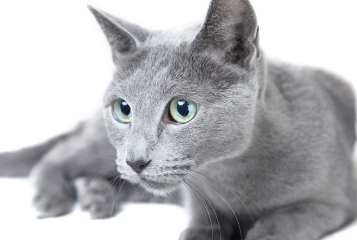 Russian Blue Cat with Silver Fur