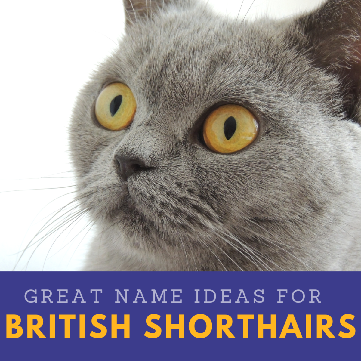 20 Great Names for Your British Shorthair Cat From Literature, Mythology, and Folklore