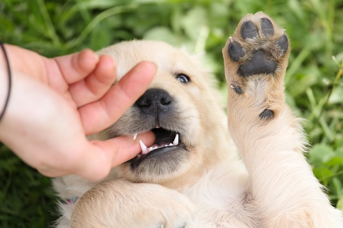 It's natural for puppies to bite, so it's important to begin working on bite inhibition as soon as possible.