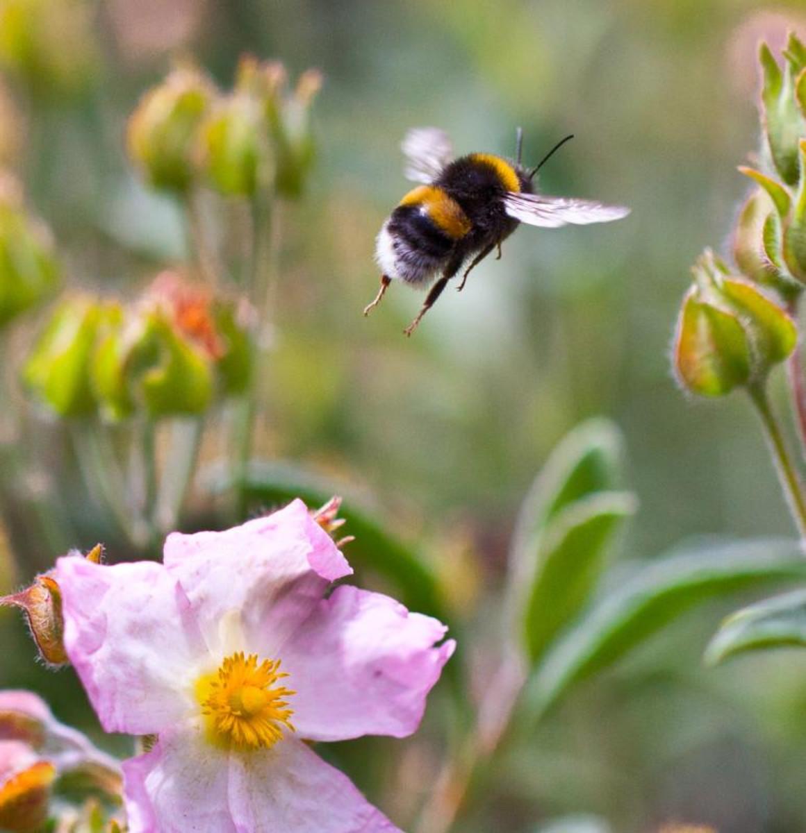 Bumble bee in flight.