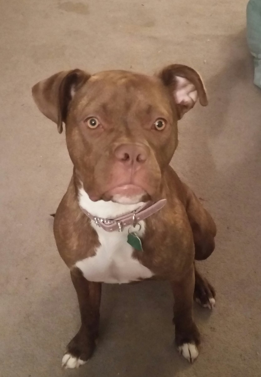 Meet Ms. Daizy the Pit Bull