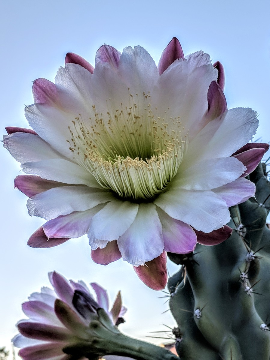 Beautiful Monstrose Apple Cactus in Bloom