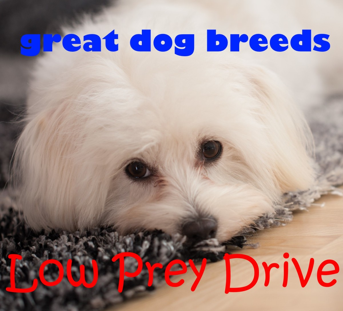 Maltese are one of the great dog breeds with low prey drive.