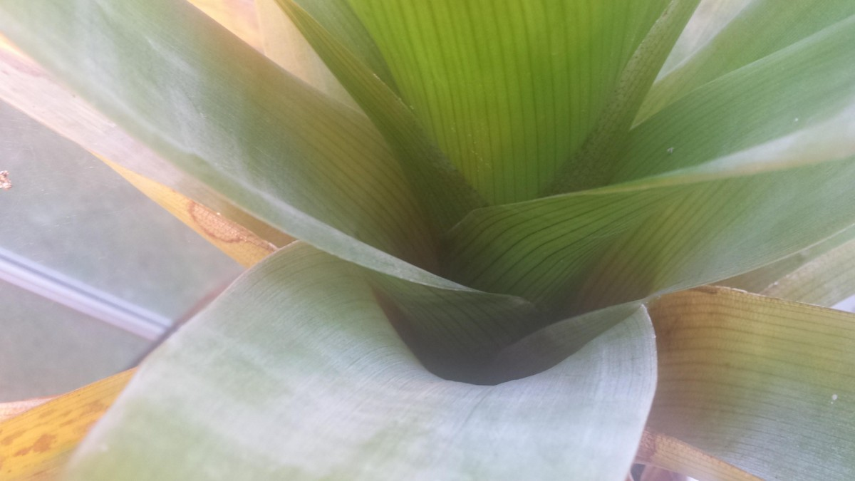 Brocchinia reducta, a carnivorous bromeliad, whose pools provide a home for a variety of microbial and invertebrate life