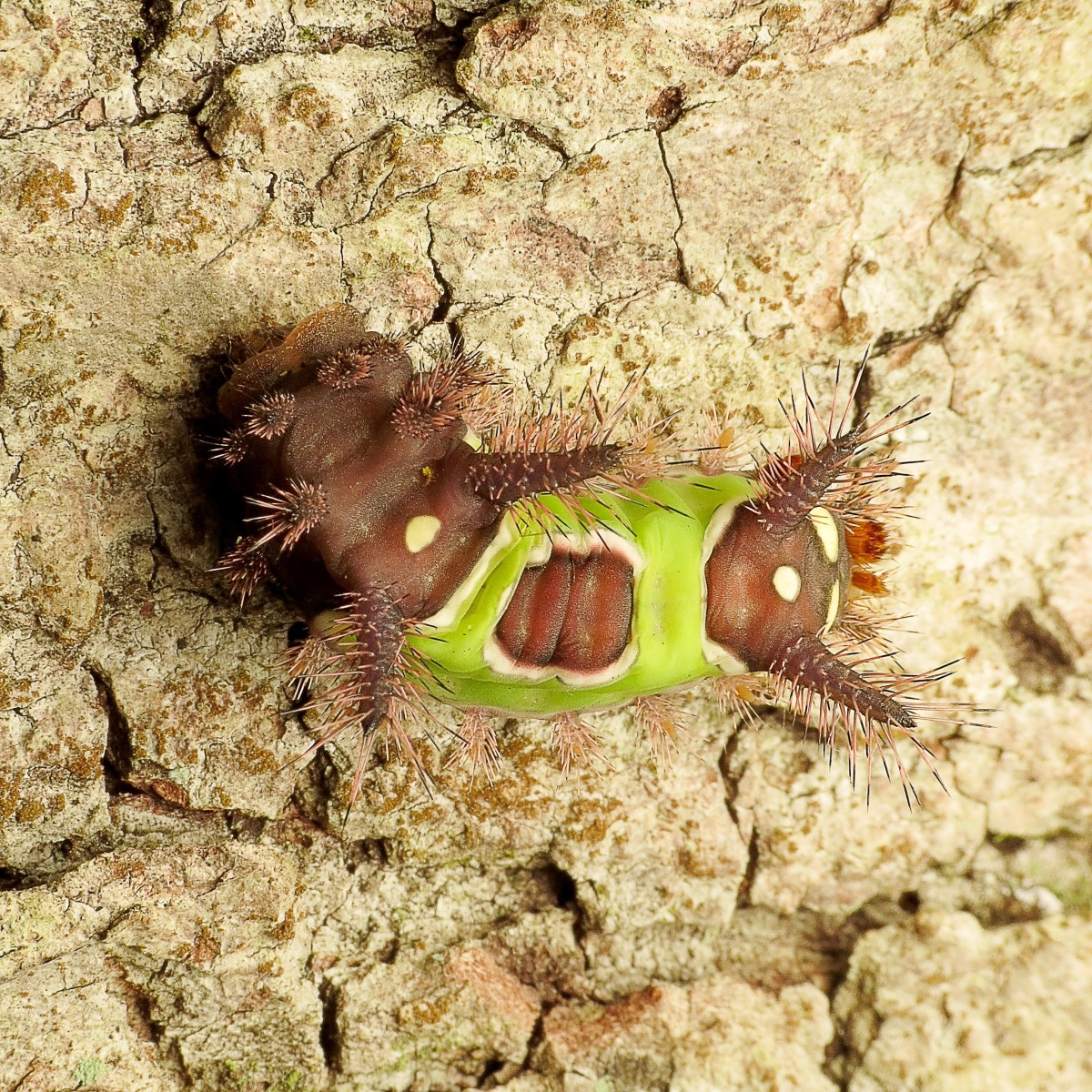 The large, pale yellow spots are located at the posterior end of a saddleback caterpillar.