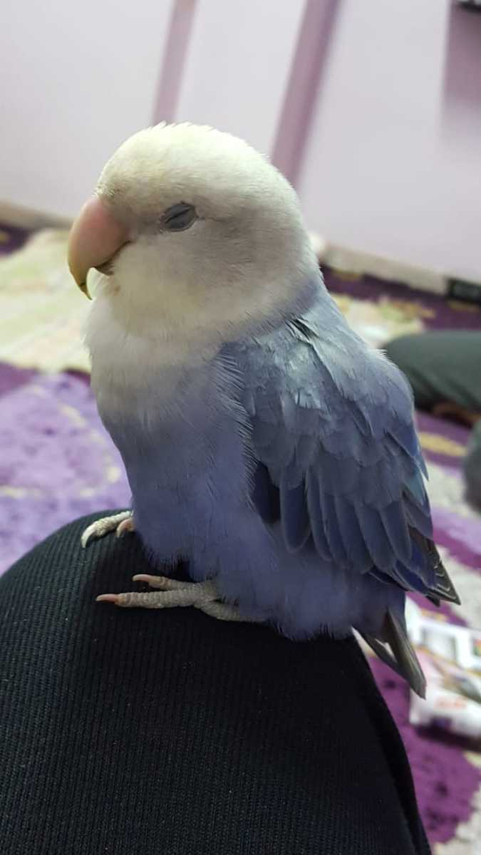 Caring for Sick Lovebirds