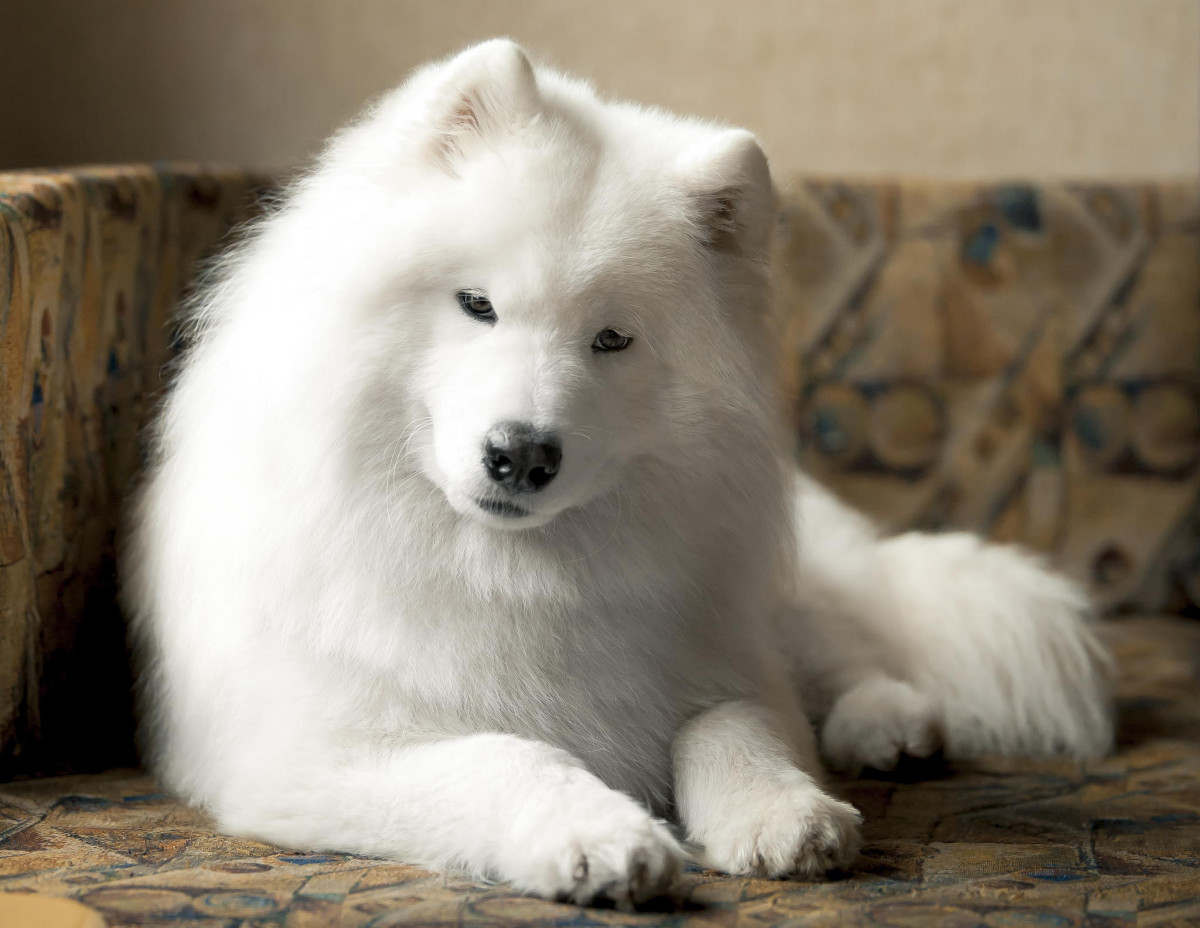 The Samoyed makes an excellent companion, babysitter, or guardian angel.