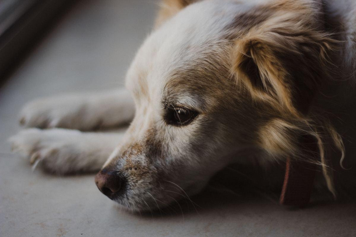 With the proper care, a dog with diabetes can go on to live a long and healthy life.