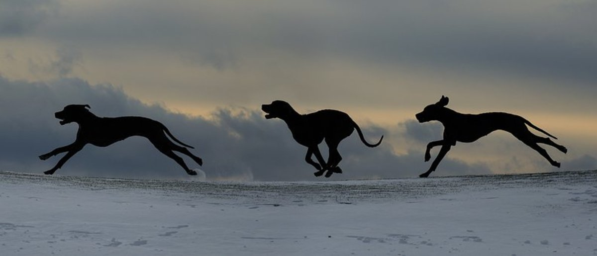 Great Danes running.