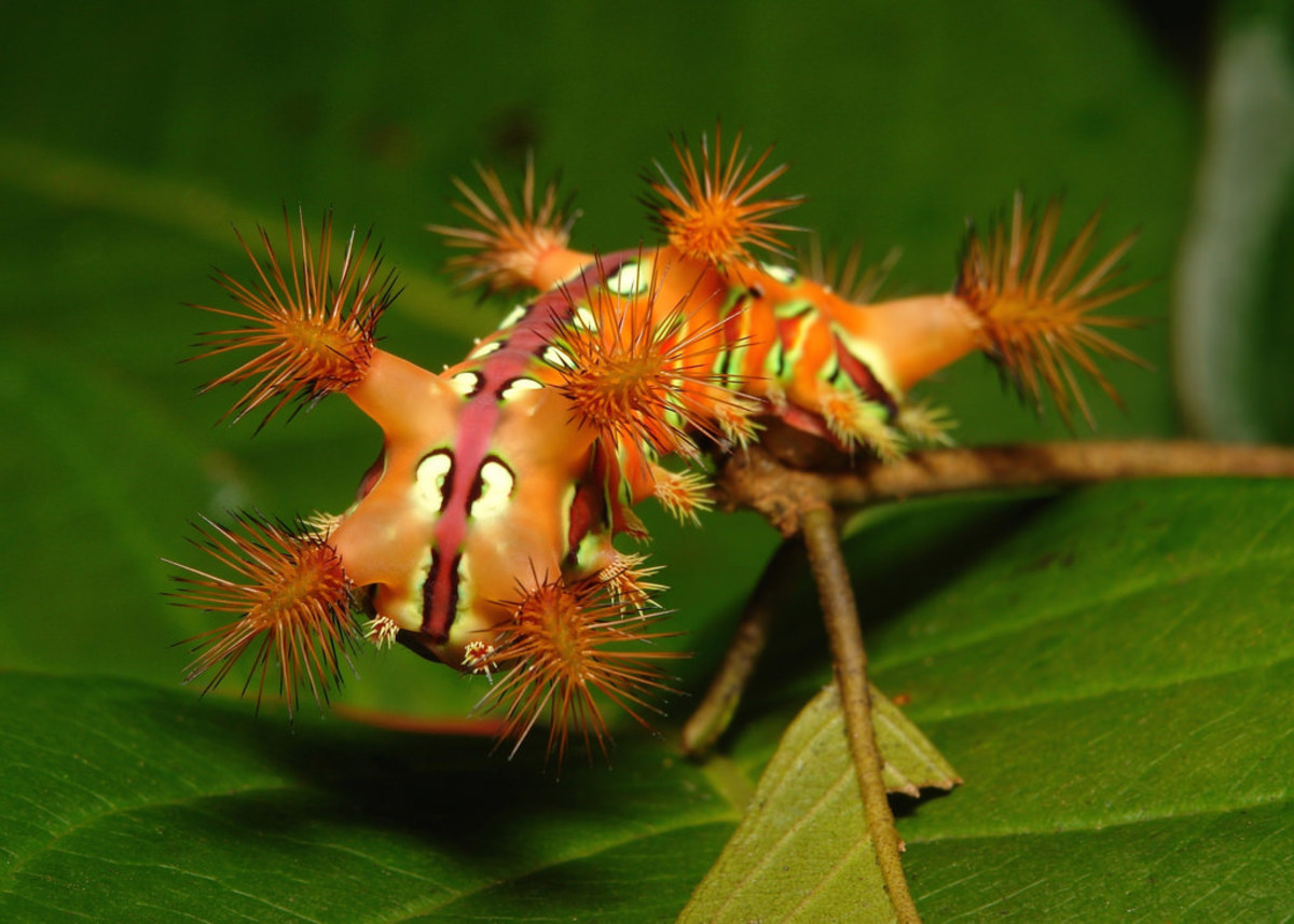 """This is a type of stinging nettle caterpillar that keeps its spines tightly bunched together until it feels threatened in which case its """"weapons"""" would be unfurled and pointed at anyone who dares get close."""