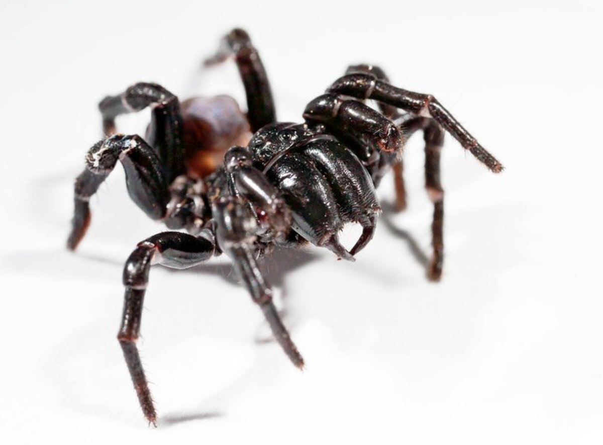 The Sydney funnel web spider is the most venomous spider in Australia and the second-most venomous spider in the world.  It is black with a shiny, hairless front section.   The abdomen is dark plum to black.