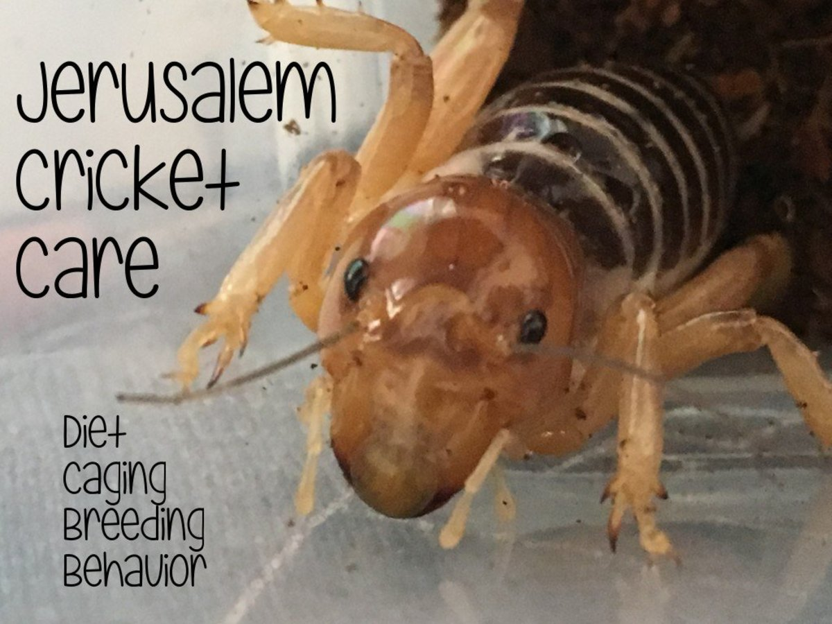 Male Jerusalem Cricket