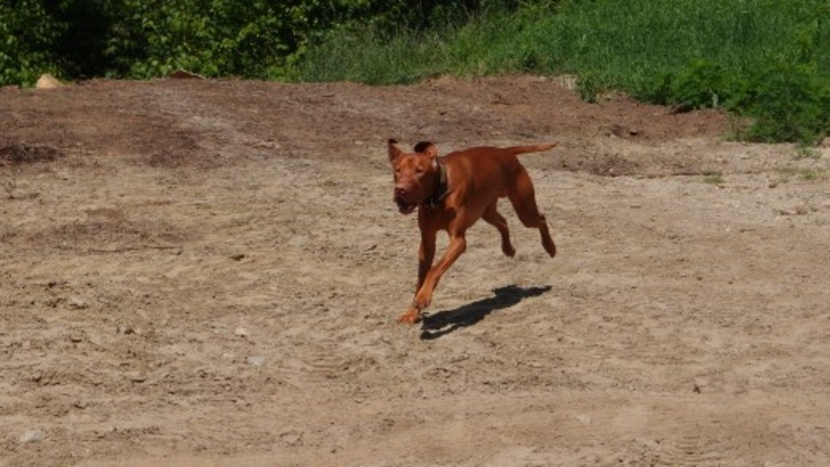 "Trying to capture a good shot of a running dog (while cutting out any unwanted ""scenery"" in a small yard) is not the easiest task in the world... Still!"