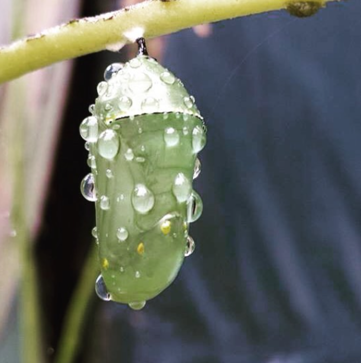 A monarch develops inside a dewy chrysalis.