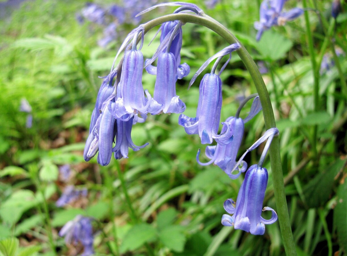 The English bluebell