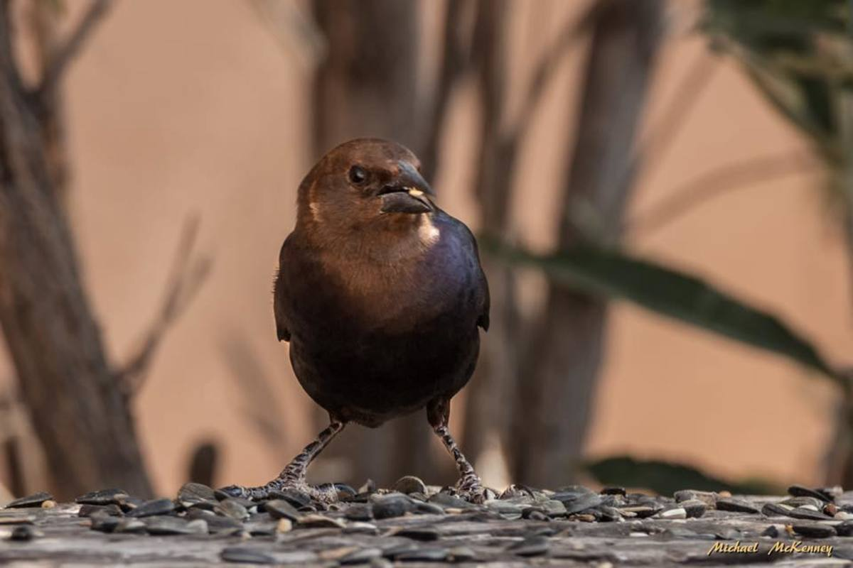 This is a male, brown-headed cowbird. They are considered to be nest parasites.