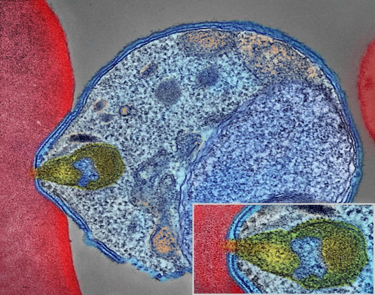 A colourized electron micrograph showing a malaria parasite entering a red blood cell