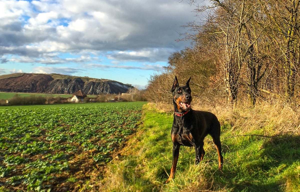 Do you know what to look for to make sure your Doberman Pinscher is healthy?