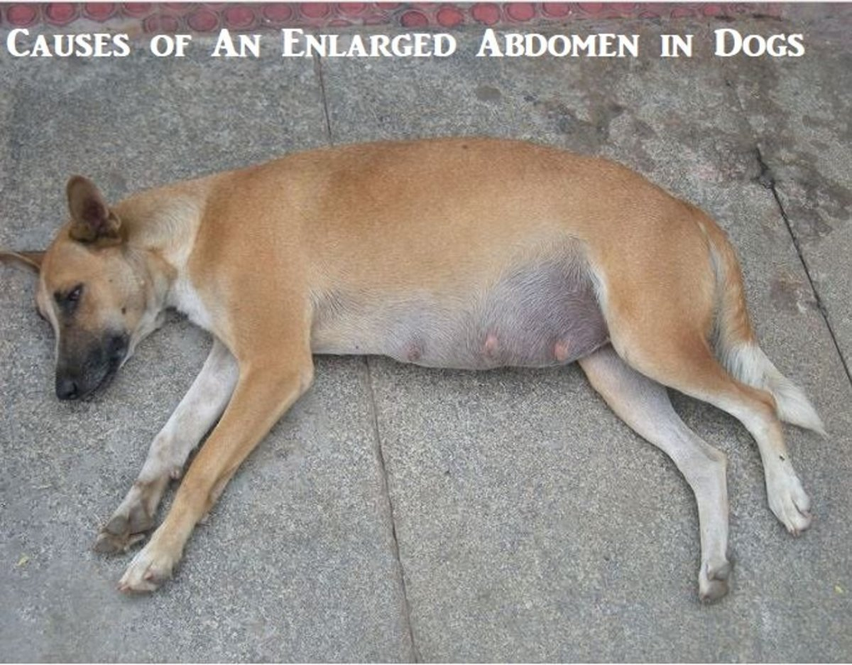A free-ranging pregnant dog.