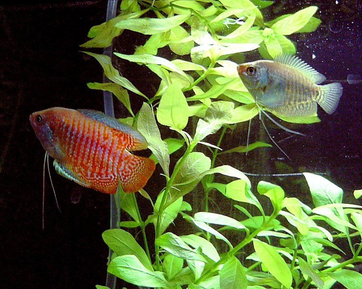 Many fish keepers attest that gouramis will eat snails in a tropical fish tank.