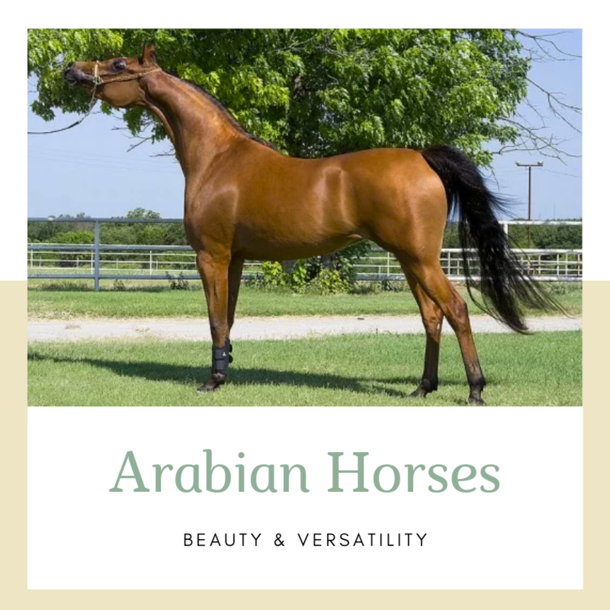 The Arabian horse is one of the most popular breeds out there.