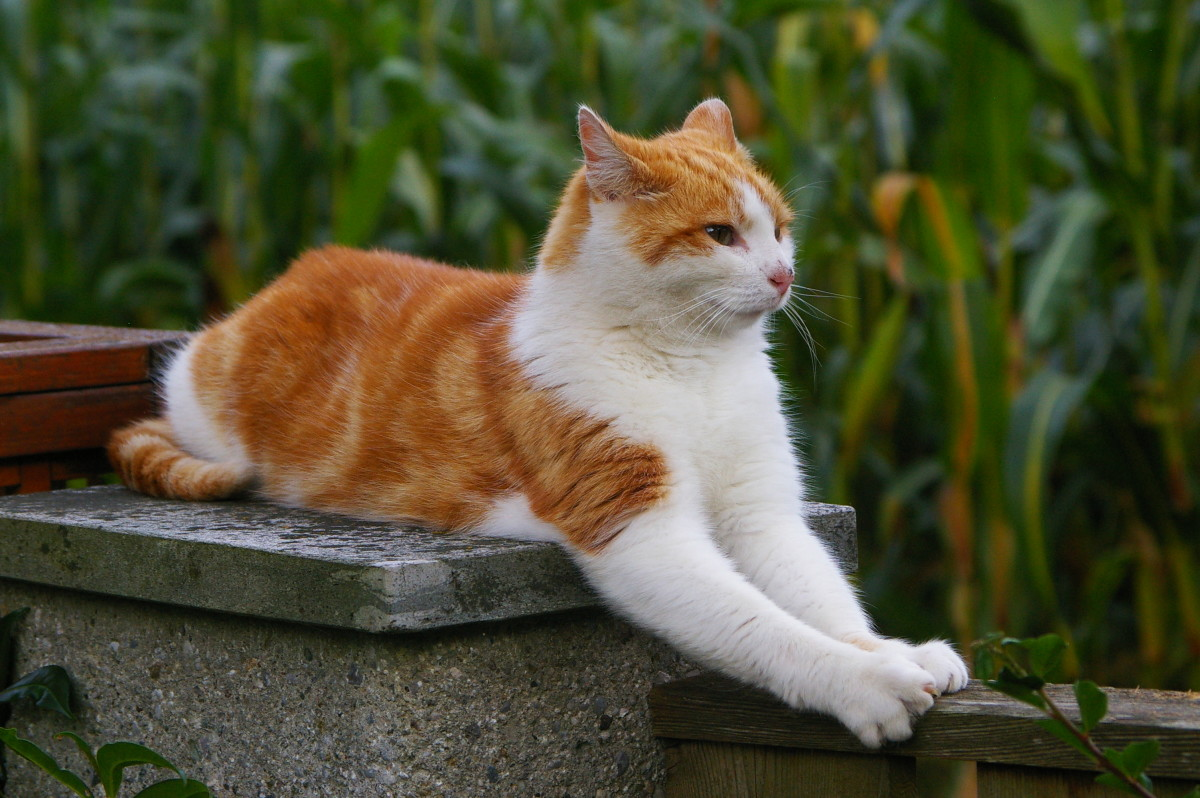 7 Bicolor Pattern Variations In Cats And Why They Occur Pethelpful By Fellow Animal Lovers And Experts