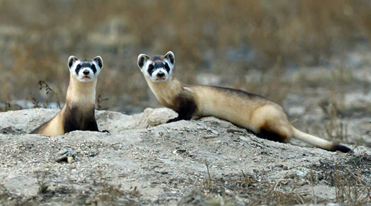 Black-footed ferrets were feared extinct in the 1970's until a rancher's dog in Wyoming came home with a dead one in its mouth, presumably killed by the dog. That event led to the discovery of several more of the animals living nearby.