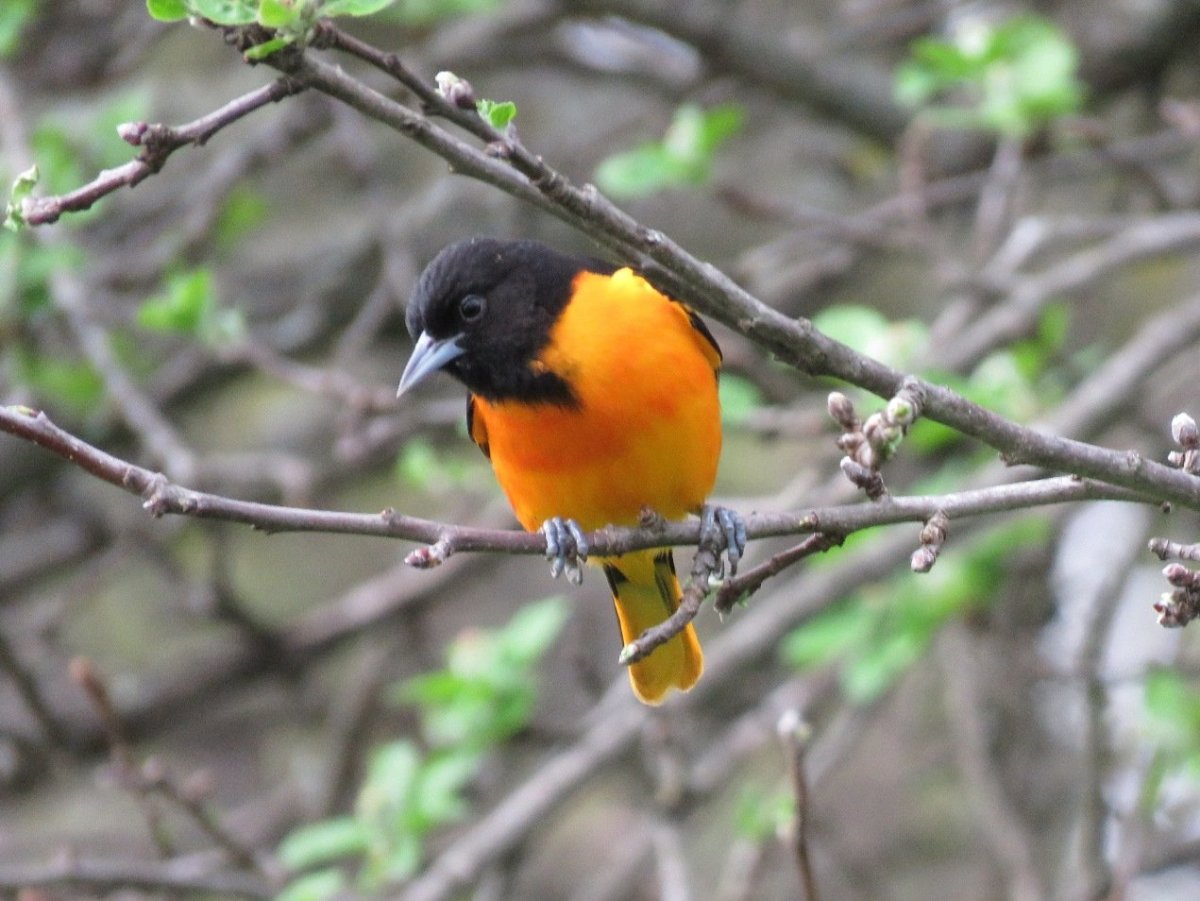 The Baltimore Oriole is a Passerine bird of the family Icteridae .