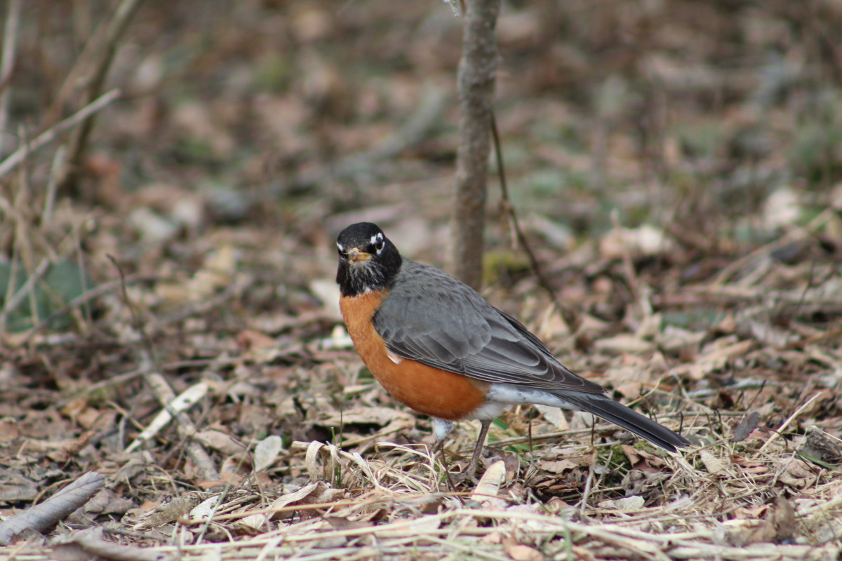 Side Profile of a Robin